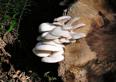 oyster mushrooms 0009