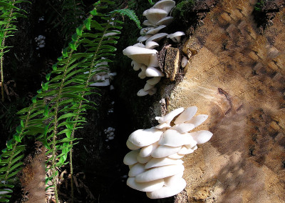 oyster mushrooms 0011