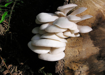 Oyster mushrooms, Sunshine Coast, BC, Canada