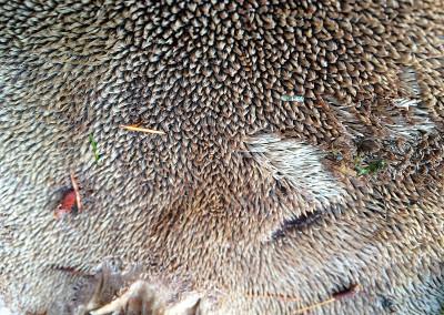 Hawk Wing, Sarcodon imbricatus, Sunshine Coast Mushrooms