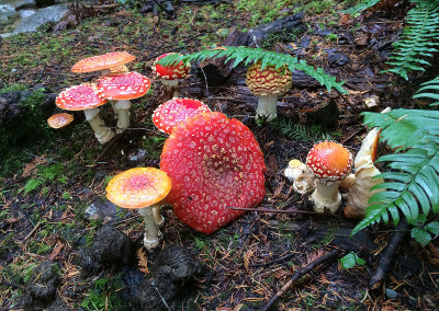 Amanita muscaria mushrooms, Sunshine Coast, BC, Canada