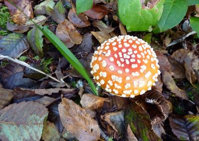 Amanita muscaria Tofino 740