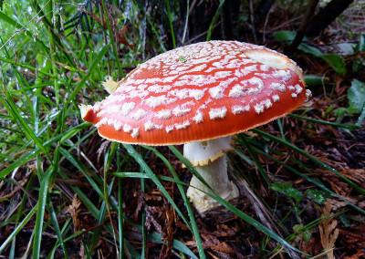 Amanita muscaria Tofino 844