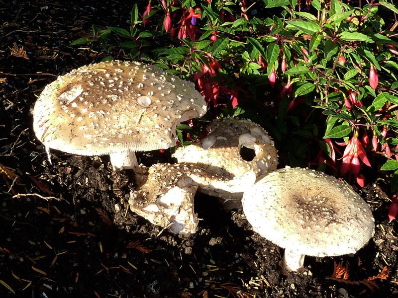 Amanita pantherina mushroom, Tofino, BC, Canada