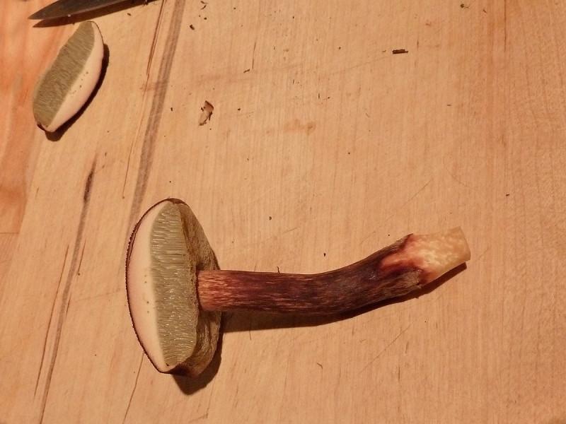 Boletus mirabilis mushroom, Tofino, BC, Canada
