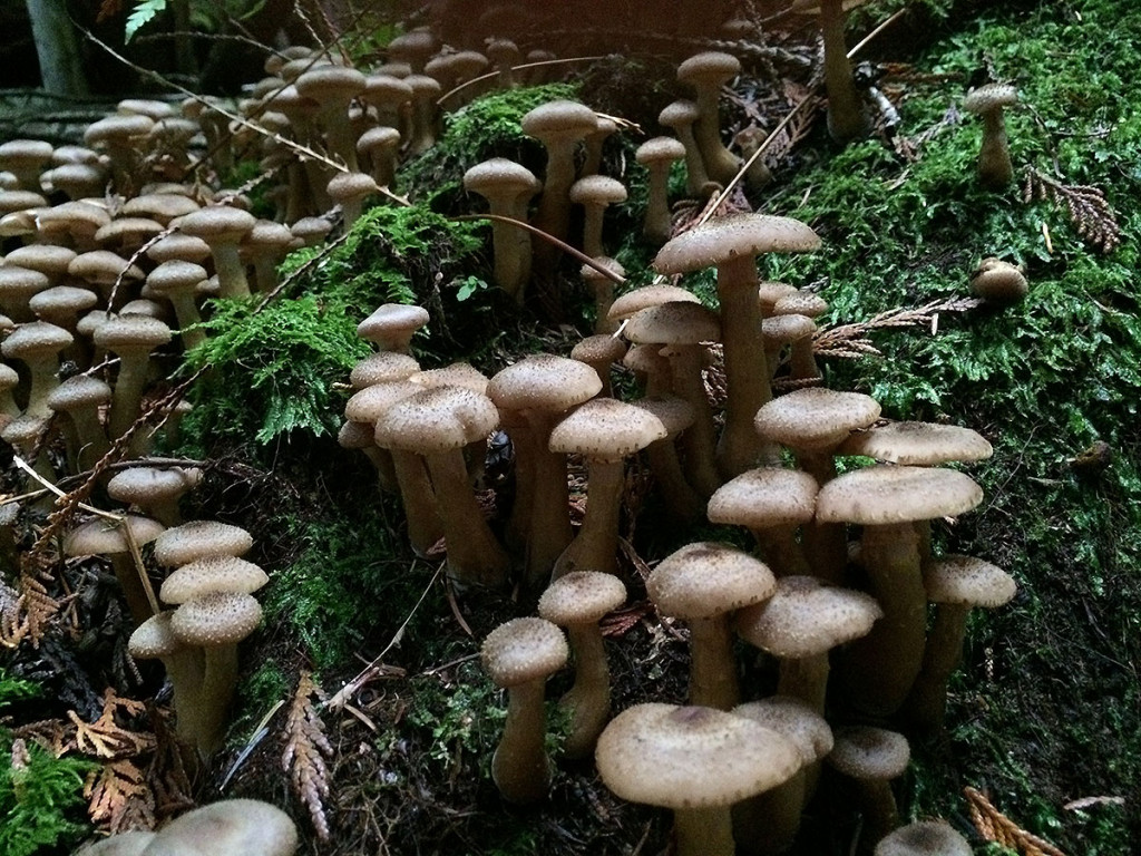 Honey mushrooms, Sunshine Coast, BC, Canada