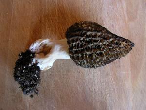 Morel mushrooms, Sunshine Coast, BC, Canada
