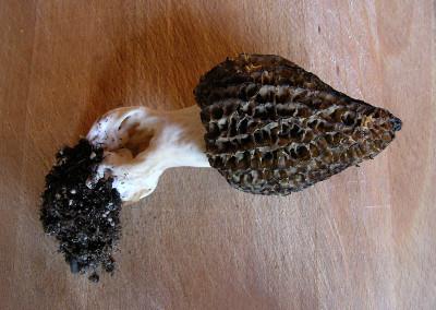 morel mushroom 00032