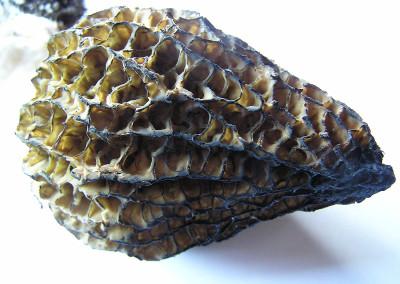 morel mushroom 0021