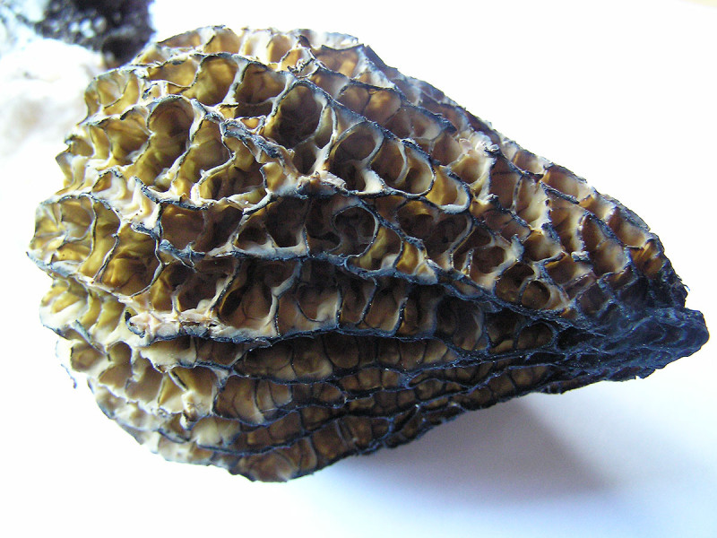 Morel mushrooms, Sunshine Coast, BC, Canada