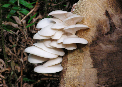 oyster mushrooms 0027