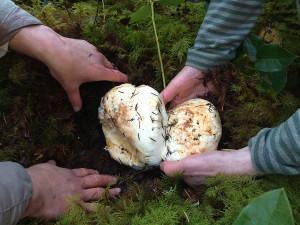 Pine mushrooms, Sunshine Coast, BC, Canada