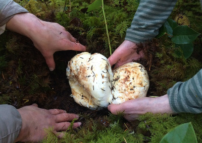 Pine mushrooms, Sunshine Coast, BC, Canada
