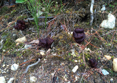 False Morels, Sunshine Coast, B&K