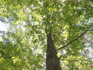 Oak Tree, Tan Fairy Funnel Mushrooms, Ontario