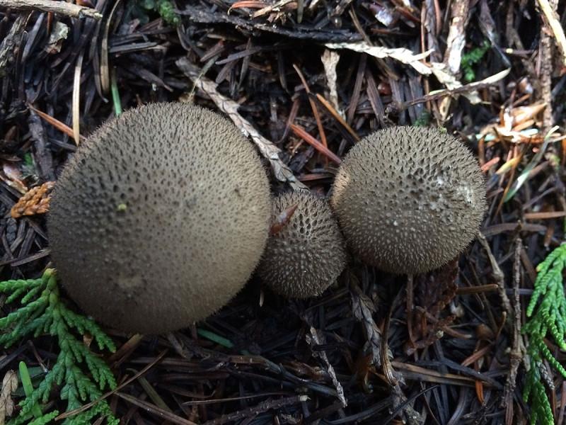 Umber-brown puffballs, Lycoperdon umbrinum. Tofino, BC