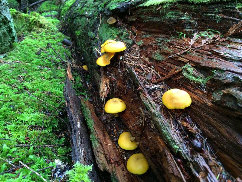 Hypholoma fasciculare, Sunshine Coast, BC