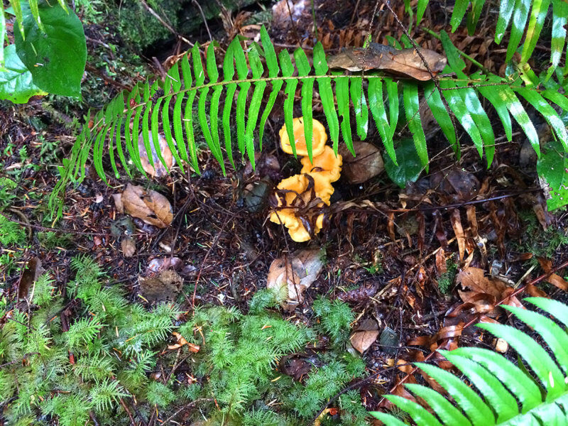 Chaterelle mushrooms, Valley of Giants, Sunshine Coast